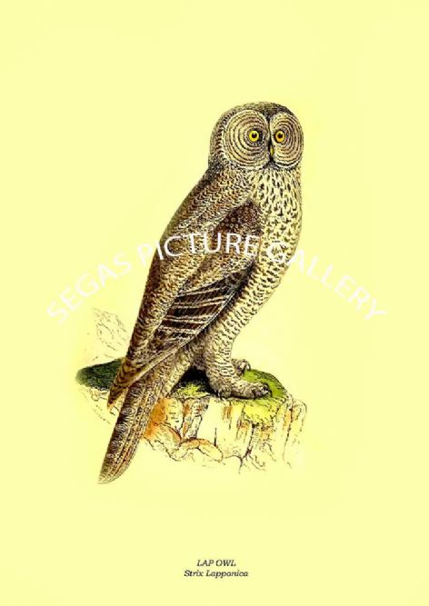 Fine art print of the LAP OWL - Strix Lapponica by Charles Robert Bree (1859)